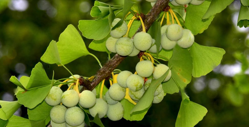 The secret of the millennial ginkgo tree is unravelled
