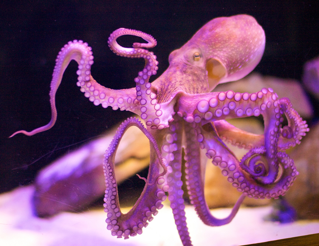 The Octopus Could Have Originated From Outer Space